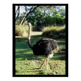I Spy an Ostrich Postcard