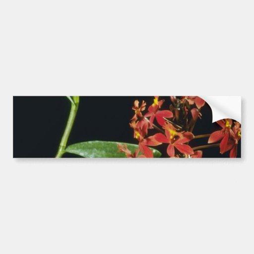 Ibaguense (Epidendrum) flowers Bumper Sticker