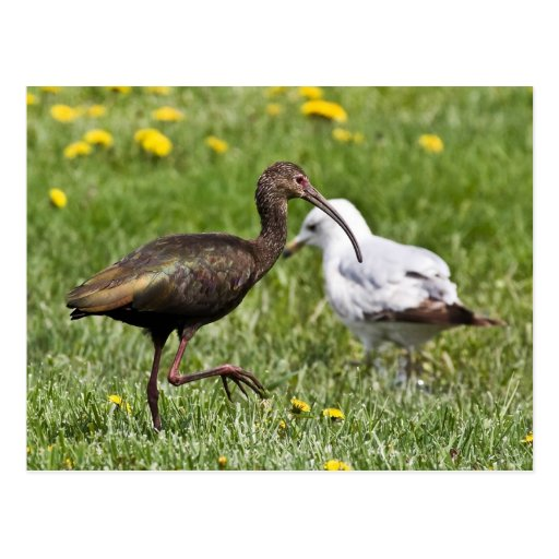 Ibis And Seagull Postcard