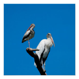 Ibis and Wood Stork Birds Poster