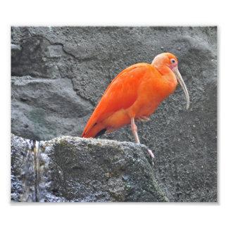 Ibis Bird Art Photo
