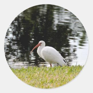 Ibis blanco adulto que muestra extremidades de ala etiqueta
