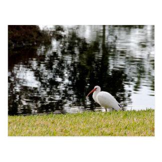 Ibis blanco adulto que muestra extremidades de ala tarjetas postales