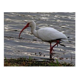 Ibis blanco tarjetas postales