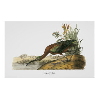Ibis brillante Juan Audubon Poster