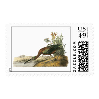 Ibis brillante, Juan Audubon Envio