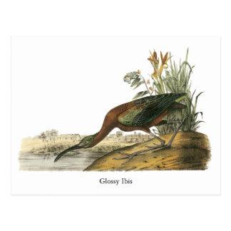 Ibis brillante, Juan Audubon Tarjeta Postal