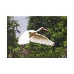 Ibis en vuelo impresiones en lienzo estiradas