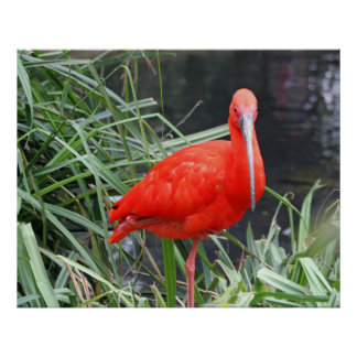 Ibis red