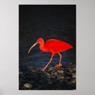 Ibis rojo posters