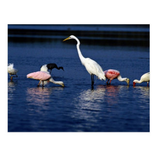 Ibis, spoonbills, great egret, blue heron and snow post card