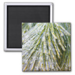 Ice-Coated Pine Needles Winter Nature Photography Magnet