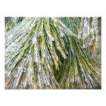 Ice-Coated Pine Needles Winter Nature Photography Photo Print