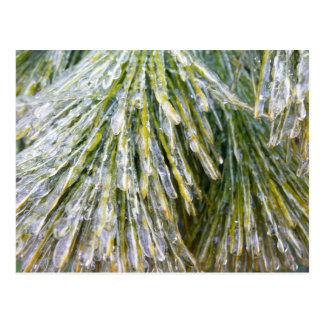 Ice Coated Pine Needles Winter Nature Photography Postcard