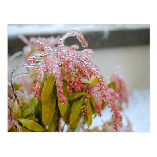 Ice Covered Flower 2 Postcard