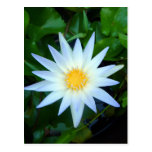 Iceblue Water Lily Postcard