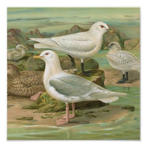 Iceland and Ivory Gull Vintage Bird Illustration Posters