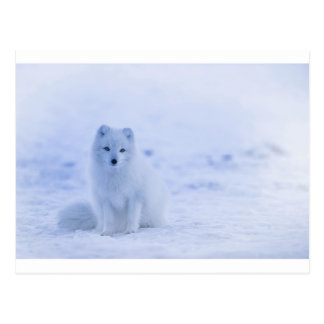 Iceland Arctic Fox Postcard