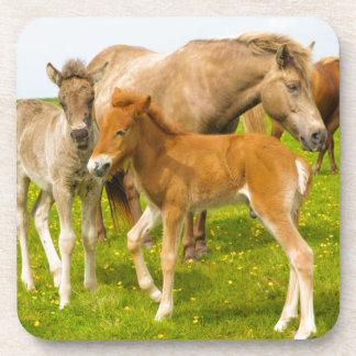 Iceland. Dyrholaey. Icelandic horse foals Drink Coaster