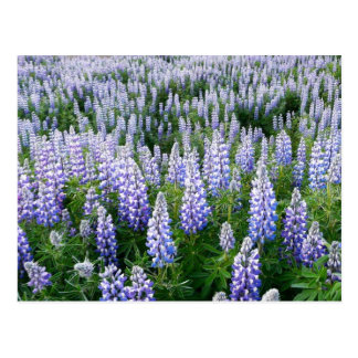 Iceland lupins postcard