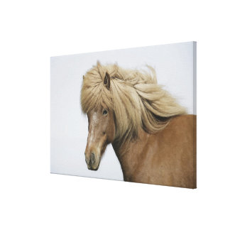 Iceland. Portrait of an Icelandic horse. Gallery Wrap Canvas