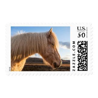 Iceland. Portrait Of Icelandic Horse Postage