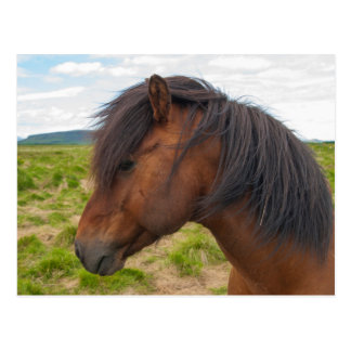 Iceland. South Region. Selfoss. Icelandic horse 1 Postcard