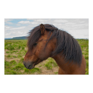 Iceland. South Region. Selfoss. Icelandic horse 1 Poster