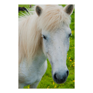 Iceland. South Region. Selfoss. Icelandic horse 2 Poster