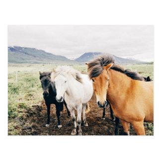 Iceland  three color horses postcard
