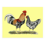 Icelandic Chickens Post Card