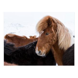 Icelandic Horse Among the Herd Postcard