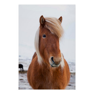 Icelandic Horse during winter  2 Poster