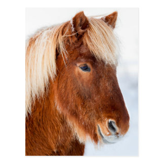 Icelandic Horse during winter near lake Myvatn Postcard