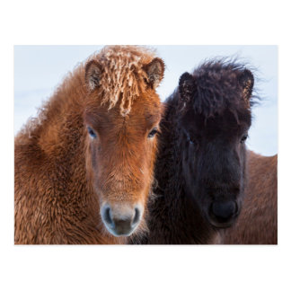 Icelandic Horse during winter on Iceland 2 Postcard