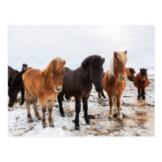 Icelandic Horse during winter on Iceland Postcard