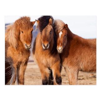 Icelandic Horse during winter Postcard