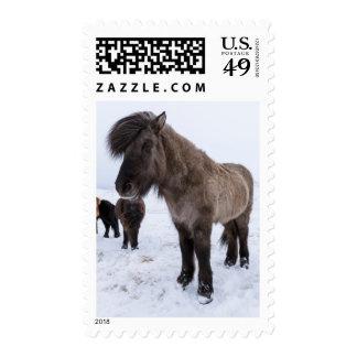 Icelandic Horse in Winter Coat Postage