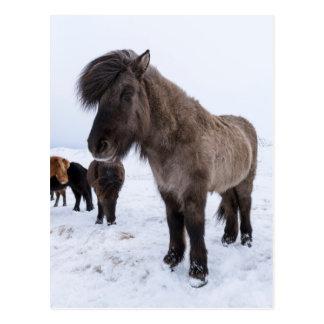 Icelandic Horse in Winter Coat Postcard