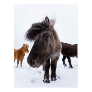 Icelandic Horse portrait, Iceland Postcard
