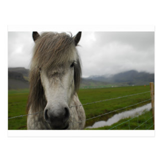 Icelandic Horse Postcard