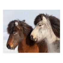 Icelandic Horse profile, Iceland Postcard
