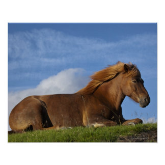 Icelandic horse resting and sky print