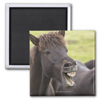 Icelandic horse with funny expression 2 inch square magnet