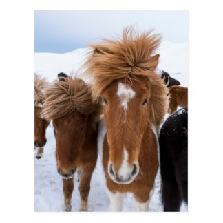Icelandic Horse with Star Postcard