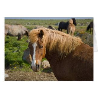 Icelandic Horses in northeastern Iceland. Card