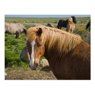 Icelandic Horses in northeastern Iceland. Postcard