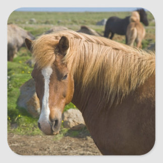 Icelandic Horses in northeastern Iceland. Square Sticker