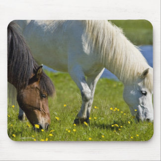 Icelandic Horses in western Iceland. Mouse Pad