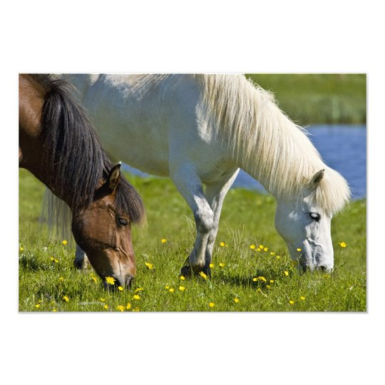 Icelandic Horses in western Iceland. Photo Print